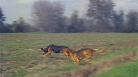 ms ts three blood hounds breaking out from cane field and racing across barren field  - pursuit concept stock videos & royalty-free footage