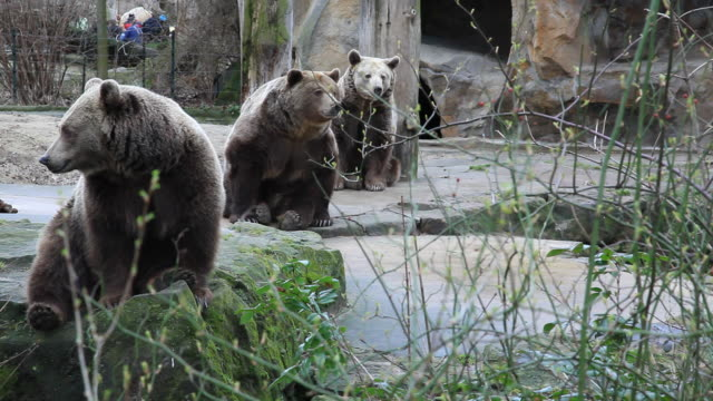 ws three brown bears relaxing in zoo, berlin, germany - zoo stock videos & royalty-free footage