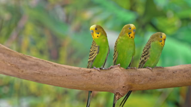 three budgerigars sitting on a branch and turning their heads to observe the surroundings - three animals stock videos & royalty-free footage
