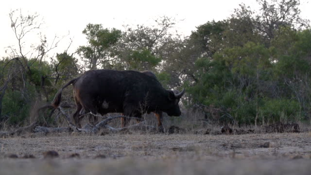 slo mo ls of three buffalo, kruger national park, south africa - mpumalanga province stock videos and b-roll footage
