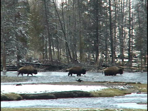 ms, three buffalos crossing river, winter, yellowstone national park, wyoming, usa - river yellowstone stock videos and b-roll footage