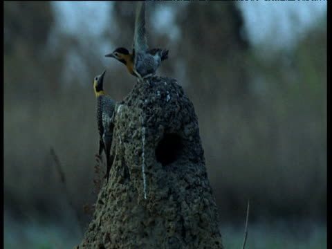 three campos flickers bicker over nest hole in termite mound on grassland, - south america stock videos & royalty-free footage