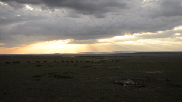 three cheetah relaxing in the plains while a herd of wildebeest walking inside masai mara national reserve during a wildlife safari - plain stock videos & royalty-free footage