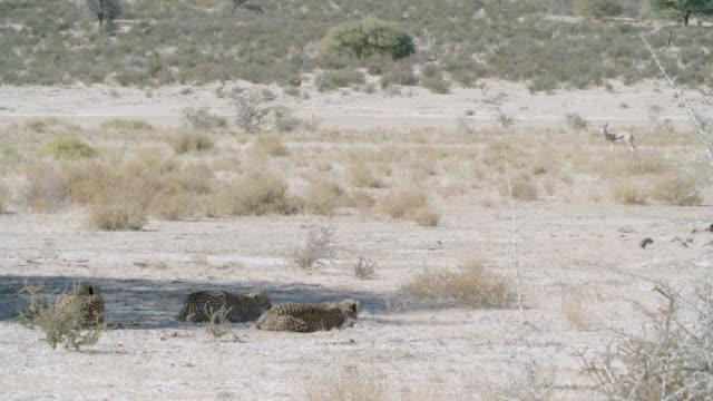 ws three cheetahs (acinonyx jubatus) resting in shadow antelope walking / kgalagadi transfrontier park, kgalagadi district, south africa - medium group of animals stock videos & royalty-free footage