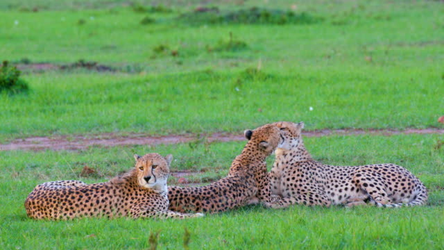 vídeos de stock, filmes e b-roll de three cheetahs sat after heavy rain, masai mara, kenya, africa - três animais