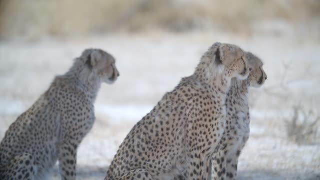 MS three Cheetahs (Acinonyx jubatus) sitting / Kgalagadi Transfrontier Park, Kgalagadi District, South Africa