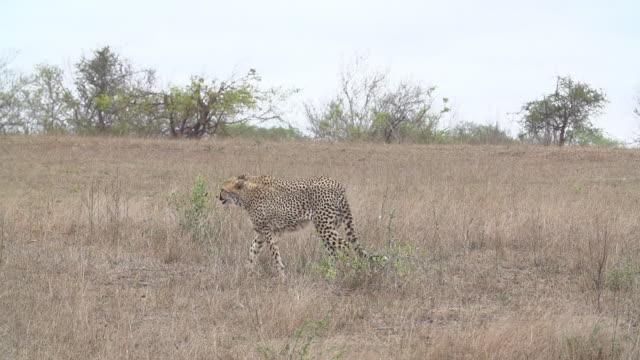 ws slo mo pan three cheetahs walking across grassland / kruger national park, mpumalanga, south africa - national grassland stock videos & royalty-free footage