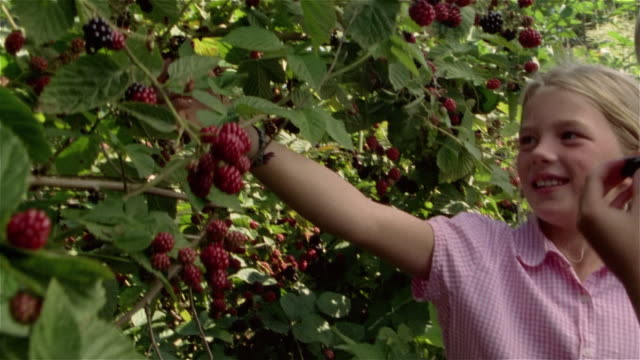 three children picking and eating blackberries off bush - 果物点の映像素材/bロール