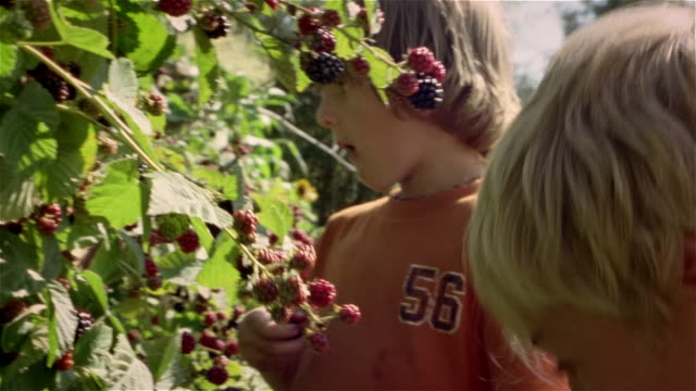 vídeos de stock e filmes b-roll de three children picking and eating blackberries off bush - fruta