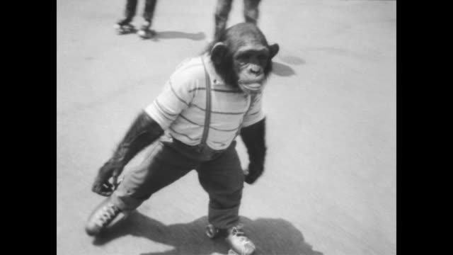 three children sit on grass eating with a chimp dressed in clothes celebrating the chimp's fourth birthday / chimp rollerskates up to the children /... - sticking out tongue stock videos & royalty-free footage