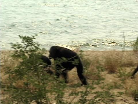 WS, TS, Three chimps (Pan troglodytes) walking along lake shore, Gombe Stream National Park, Tanzania