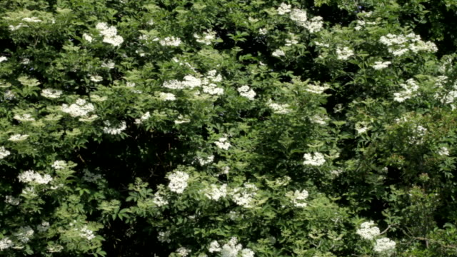 hd video white elderflower sambucus nigra blue sky - vitamin c stock videos and b-roll footage