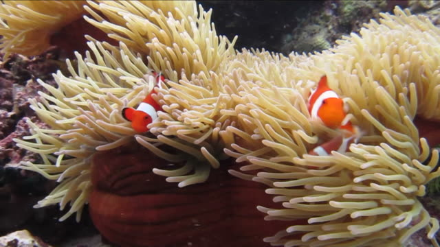 three clownfish and sea anemone - sea anemone stock videos and b-roll footage