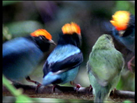 Three colourful male blue manakins dance to impress drab female, senior male wins female, South America