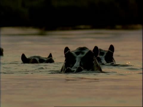 mcu three common hippopotamus peering out of water, gradually submerging, mana pools, zimbabwe - repubblica dello zimbabwe video stock e b–roll