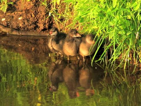 vídeos y material grabado en eventos de stock de ntsc: tres coots - grupo pequeño de animales