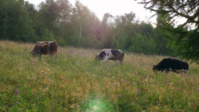 vidéos et rushes de trois vaches broutant dans un pâturage - vache