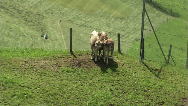 WS ZI Three cows huddled together in field / Lucerne, Switzerland