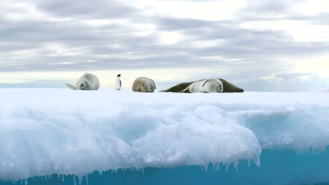 three crabeater seals and an adelie penguin on ice floe - penguin stock videos and b-roll footage