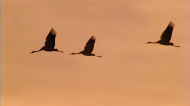 Three cranes fly across an orange sky in  Ruegen Island, Germany