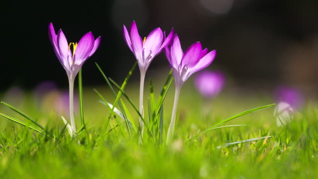 three crocus flowers in backlight. - tre oggetti video stock e b–roll