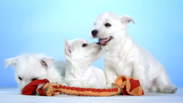 stockvideo's en b-roll-footage met hd: three cute puppies - drie dieren