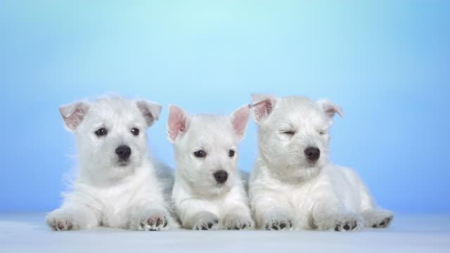 HD: Three Cute White Puppies