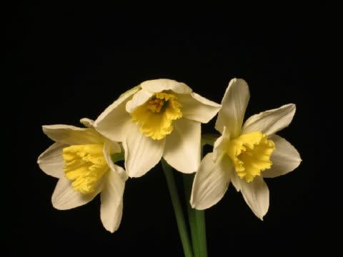 t/l cu three daffodil flowers blooming  - pistil stock videos & royalty-free footage