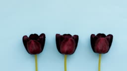 Three dark burgundy tulips on blue background, stop motion animation, loopable moving image