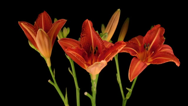three day lily buds, timelapse - day lily stock videos & royalty-free footage