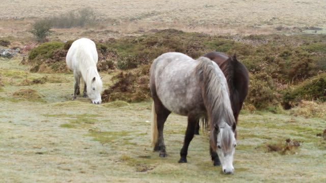 ms three different colored ponies grazing in patch of grass / dartmoor, england, united kingdom - wiese stock videos & royalty-free footage
