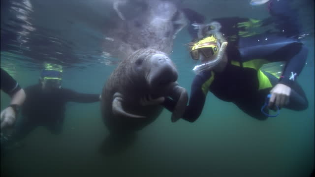 ms, three divers swimming with manatee, florida, usa  - lamantino video stock e b–roll