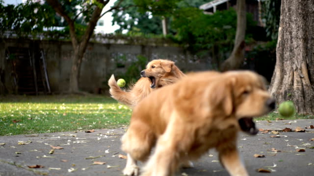 slomo sa three dogs playing fetch - group of animals stock videos & royalty-free footage