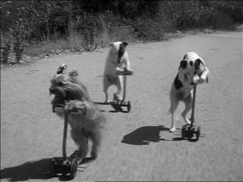 b/w 1952 three dogs riding push scooters on road / documentary - animale da spettacolo video stock e b–roll