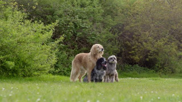stockvideo's en b-roll-footage met slo mo three dogs sitting and walking together in park - kleine groep dieren