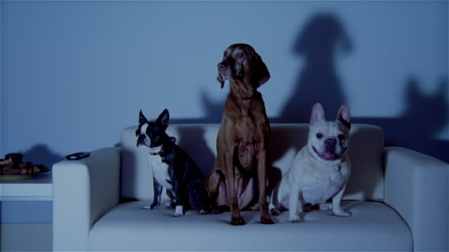 vidéos et rushes de ms, three dogs sitting on sofa, watching tv - trois animaux