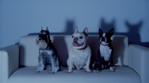 vídeos de stock, filmes e b-roll de ms, three dogs sitting on sofa, watching tv - terrier