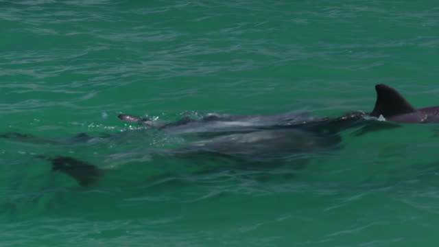 three dolphins swimming majestically - cetacea stock videos & royalty-free footage