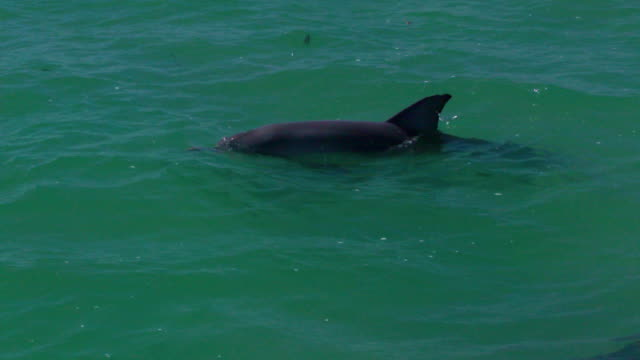 vídeos de stock, filmes e b-roll de three dolphins swimming together - cetáceo