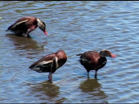 vidéos et rushes de trois canards se lisser les plumes - se lisser les plumes