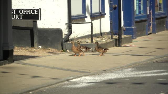 three ducks walking on a pavement - three animals stock videos & royalty-free footage