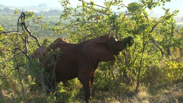 vídeos de stock e filmes b-roll de ms zi three elephants eating from tree / etosha national park, kunene, namibia - nariz de animal