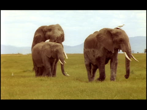 vídeos de stock e filmes b-roll de three elephants walk majestically across the savanna. - nariz de animal