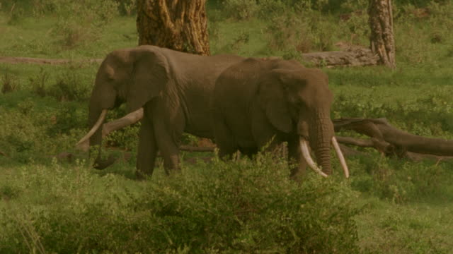 ms three elephants walking past bushes and trees / tanzania - liten djurflock bildbanksvideor och videomaterial från bakom kulisserna