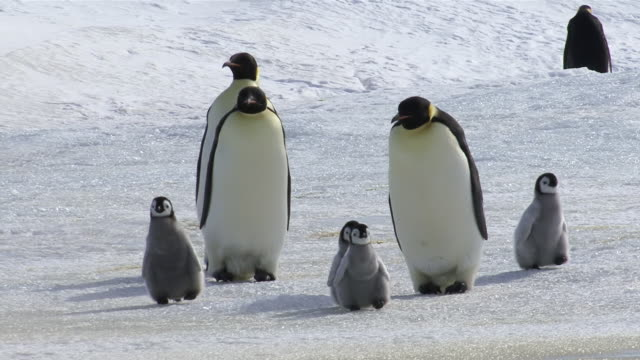 stockvideo's en b-roll-footage met ms three emperor penguins walking with four chicks / antarctica  - dierenfamilie