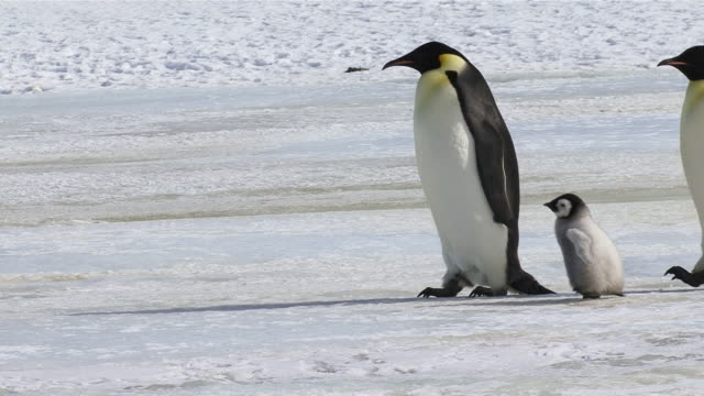 vidéos et rushes de ms three emperor penguins walking with three chicks / antarctica - famille d'animaux