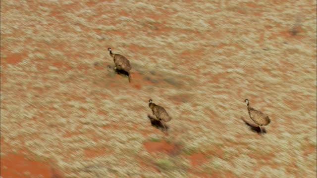 three emus run across the desert in australia. - emu stock videos & royalty-free footage
