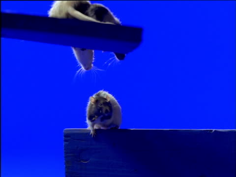 three fancy rats balance on wooden planks - rat stock videos & royalty-free footage