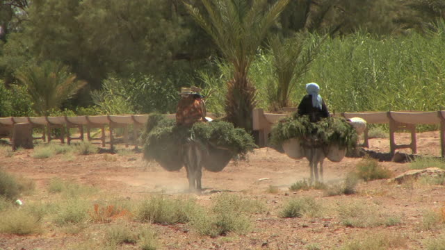vidéos et rushes de ws three farm workers on donkeys carrying grass, dades valley, morocco - maroc
