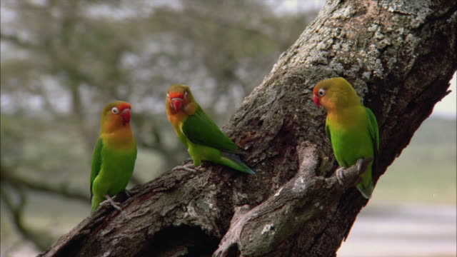 stockvideo's en b-roll-footage met ms, three fischer's lovebird (agapornis fischeri) on tree trunk, serengeti national park, tanzania - drie dieren